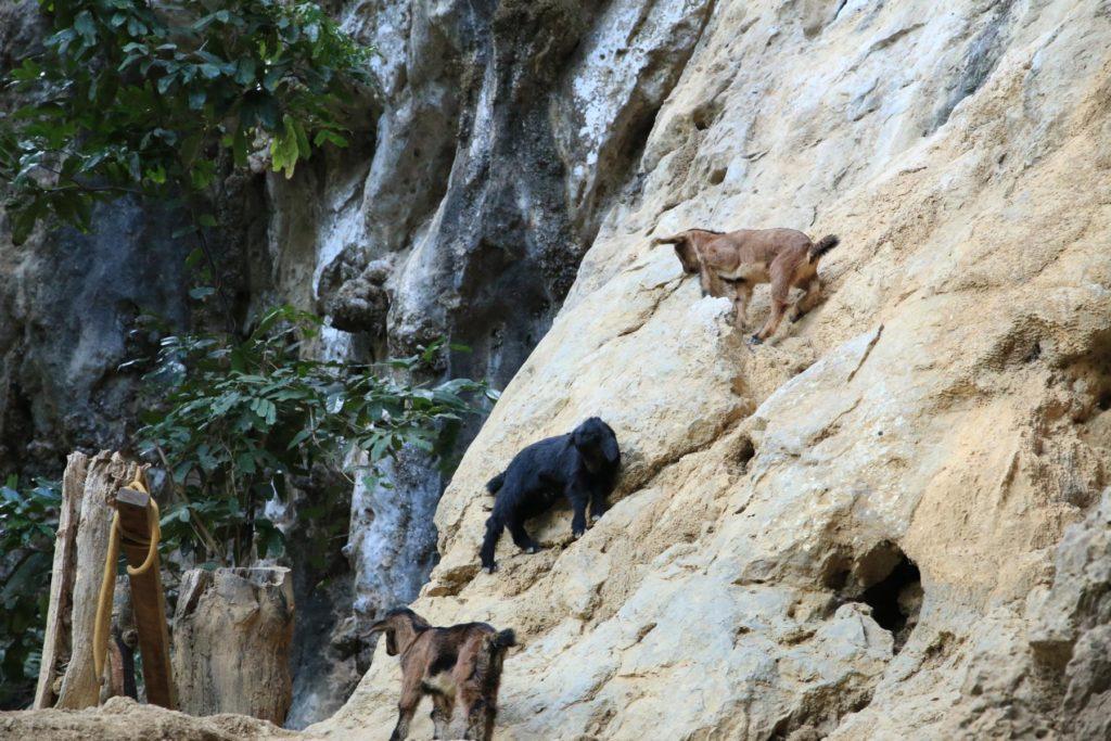 Ziegen im Klettergebiet