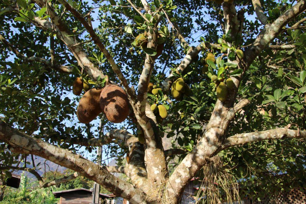 Jackfruit-Baum