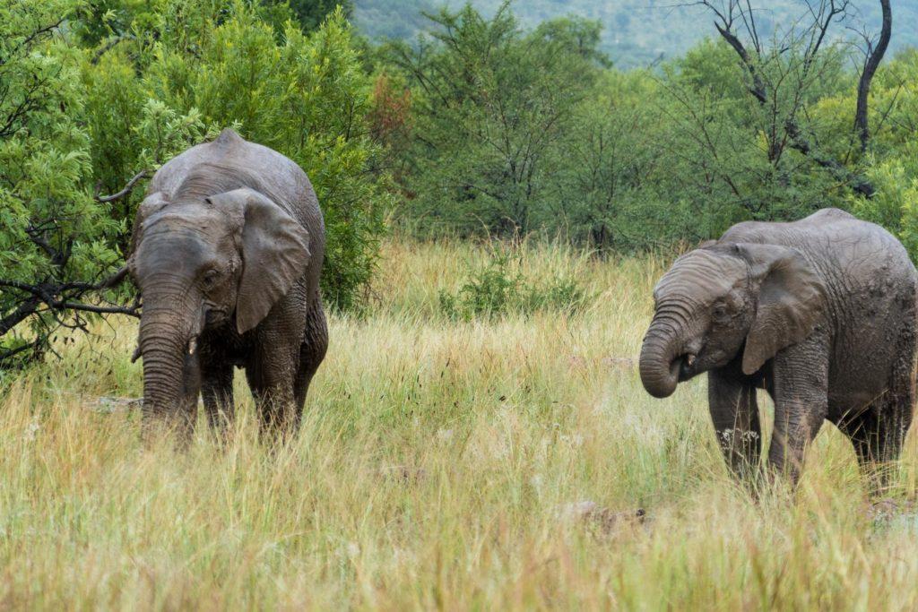Elefant mit Nachwuchs