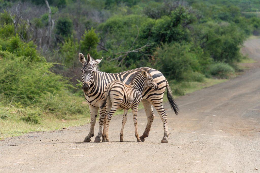 Zebra mit Baby