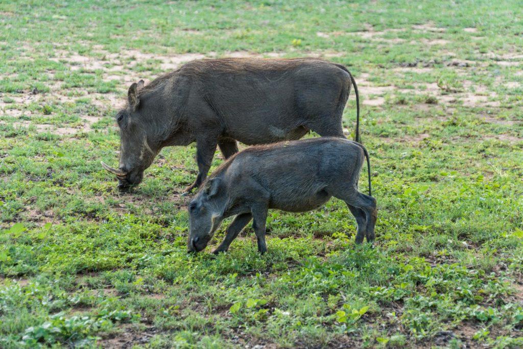 Warzenschweinfamilie