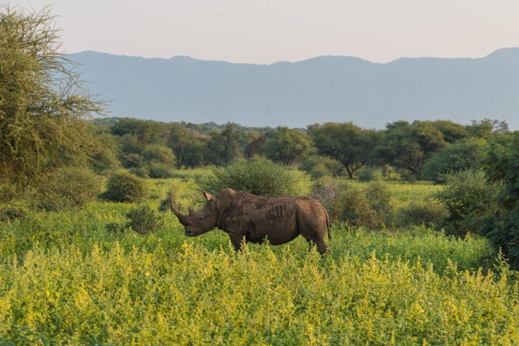 Nashorn am Platz