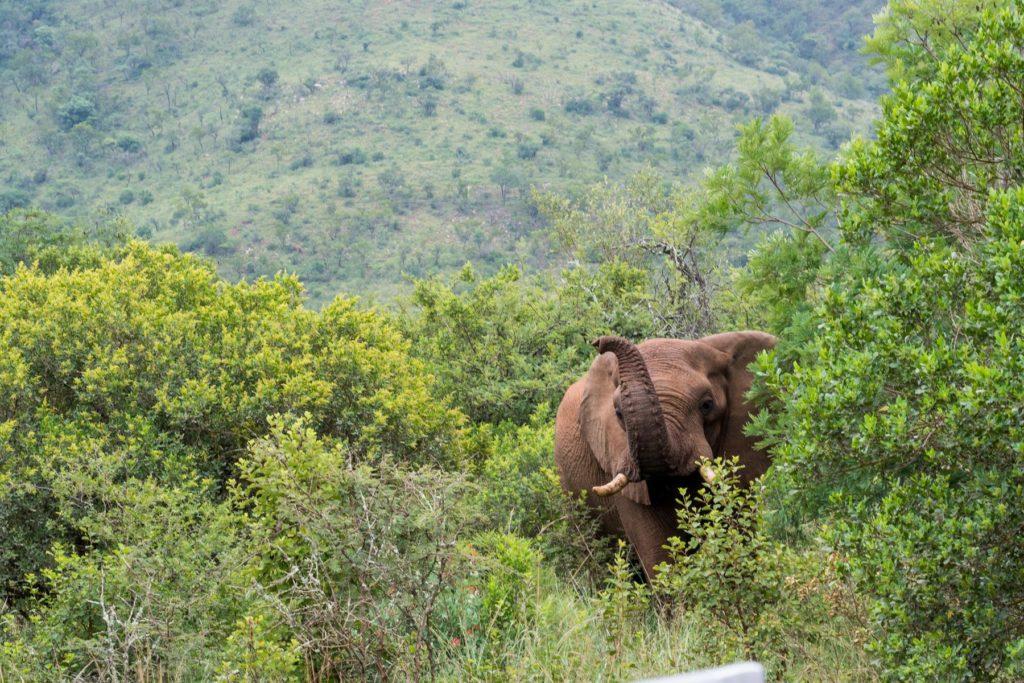 winkender Elefant