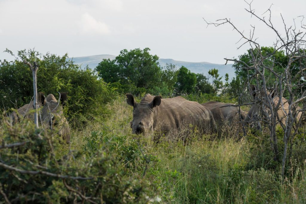 Nashorn ohne Horn