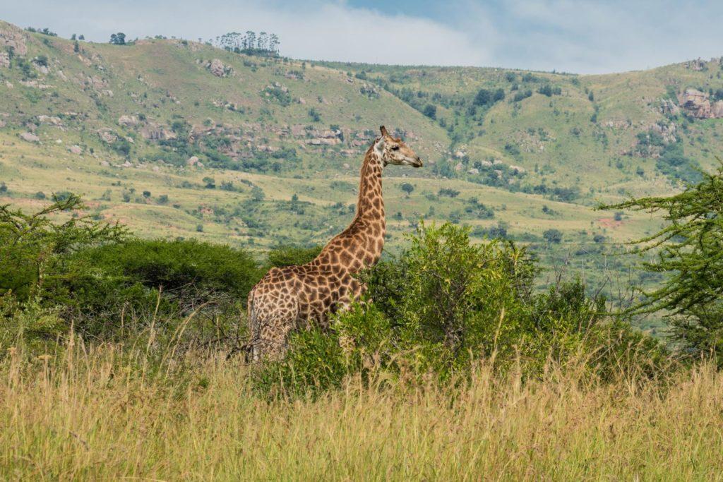 aufmerksame Giraffe